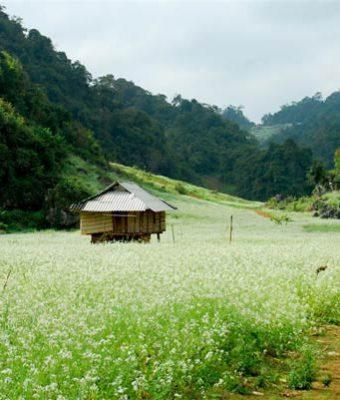 Hoa Cải trắng Mộc Châu