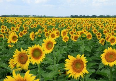 Cánh đồng hoa hướng dương – Thung Nham – Tràng An