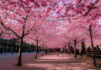 Nhật Bản – Ngắm hoa anh đào 6 ngày 5 đêm