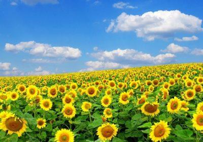 Ngắm hoa hướng dương Nghệ An 1 ngày