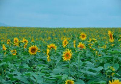 Những điều cần biết về cánh đồng hoa hướng dương Nghệ An