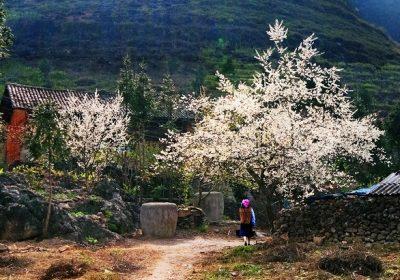 Mộc Châu – Mùa hoa mơ, hoa mận 2 ngày 1 đêm